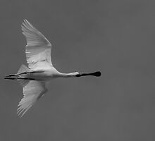 Spoonbill in flight by Harryshotshots
