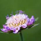 """Pincushion Flower"" – Scabiosa Columbaria by Elaine123"