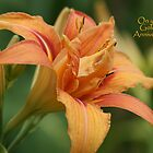 Day Lily - Golden Anniversary by Sally J Hunter