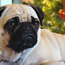 Maggie~ Pet Portrait Of A Pug by Susan Bergstrom