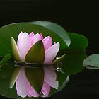 Reflecting Water Lily by swaby