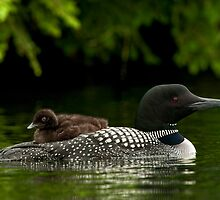 Lounging Loon by Bill Maynard