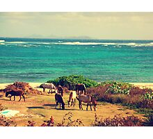 Seaside grazing - Saint Martin   Photographic Print