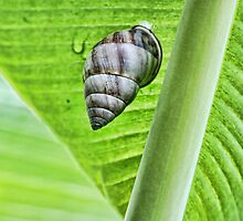 Snail sitting on the big green leaf by Riviera