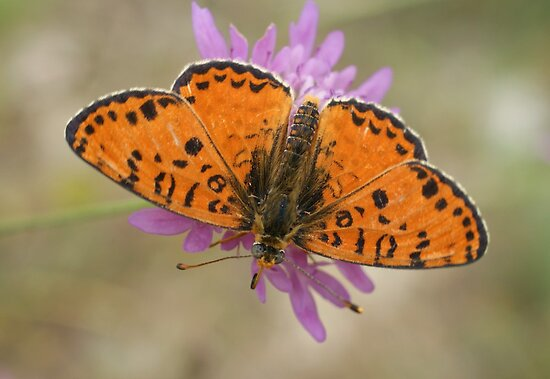 Male Spotted Fritillary by marens