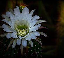 White Echinopsis by Saija  Lehtonen