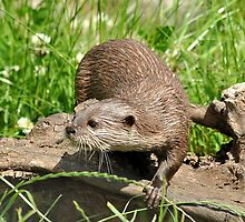 European Short-clawed Otter by Dorothy Thomson