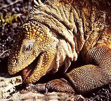 """Tastes Good !!"", Land Iguana, Galapagos  by Carole-Anne"
