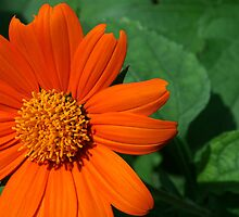 Summer's Orange Flower by Hope A. Burger