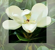 Magnolia Flower by Jean Gregory  Evans