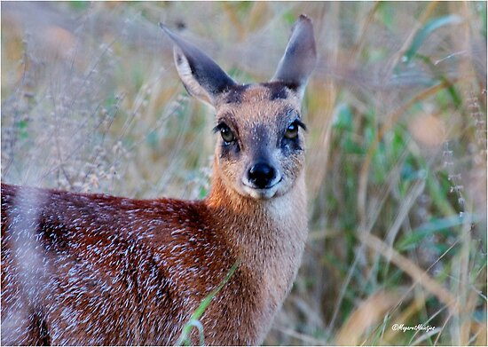 THE TINY, SHY, SCARCE, SHARPE'S GRYSBOK – Raphicerus sharpei Kruger National Park by Magaret Meintjes