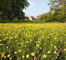 - Buttercups in Chelsworth by Christopher Cullen