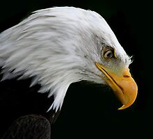 The American Bald Eagle by eyestrange