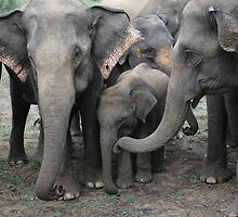Asian Elephants in the Wild in Sri Lanka by AndrewSansom