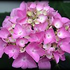Hydrangea Bloom by kkphoto1