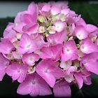 Hydrangea Bloom by kkphoto1