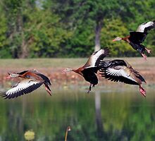 Black-Bellied Whistling Ducks in flight by venny