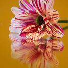 Striped Gerbera Reflections by printsbypixie