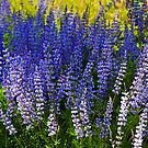 Field of Lupine by amontanaview
