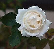 White Rose  by Odille Esmonde-Morgan