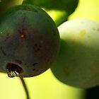 Aranyons / Prunus spinosa by Isabel  Rosero