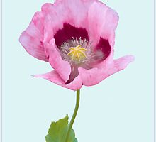 Pink Poppy by J-images