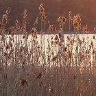 Reeds at Lough Erne during sunset. by Fara