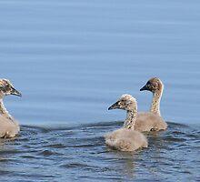 black swan and cygnets by birdpics