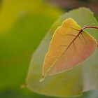 Poplar by Lynn Wiles