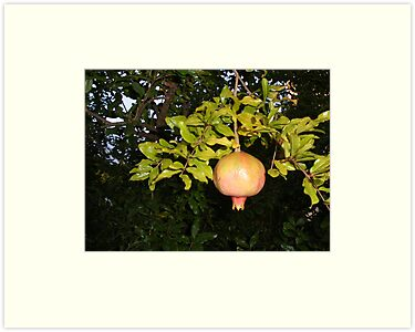 Pomegranate in a Tuscan Garden  by Fara