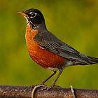 Robin by wanda lechene