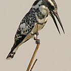 Pied Kingfisher by JenniferEllen