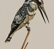 Pied Kingfisher by Jennifer Sumpton