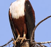 Majestic African Fish Eagle by JenniferEllen