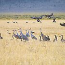 sandhill cranes, Canada geese and a lone antelope... by Allan  Erickson