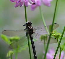 Black Dragonfly and Crown Vetch by T.J. Martin