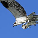 Osprey catch of the day ! by jozi1