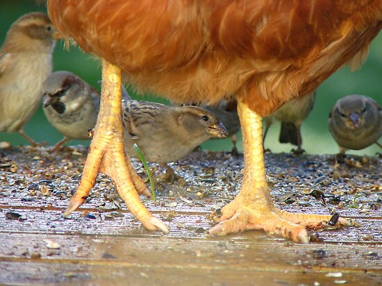 Oh!! My.. What Big Feet You Have!!!.. Sparrow & Chook - NZ  by AndreaEL