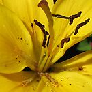 Petals and Pollen Grains - Sunlit Yellow Lily by BlueMoonRose