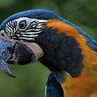 Blue-and-Yellow Macaw by Dennis Stewart