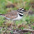 Killdeer by titus