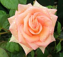 Peace Rose in my garden-Sandford, Victoria, Australia. by Trish Martin