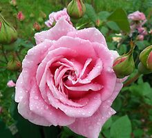 Pink Rose in my garden-Sandford, Victoria, Australia. by Trish Martin