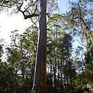 Gum in the Valley, Warrimoo, Blue Mountains of NSW by Catherine Davis