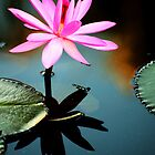 Pink - waterlilly by Jenny Dean
