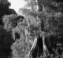 Cypress Reflections Black and White by Warren  Thompson