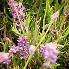 Lavender Ladybird - Castle Farm, Shoreham, Kent by Lisa Hafey