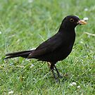 Hungry Blackbird by Dave Holmes