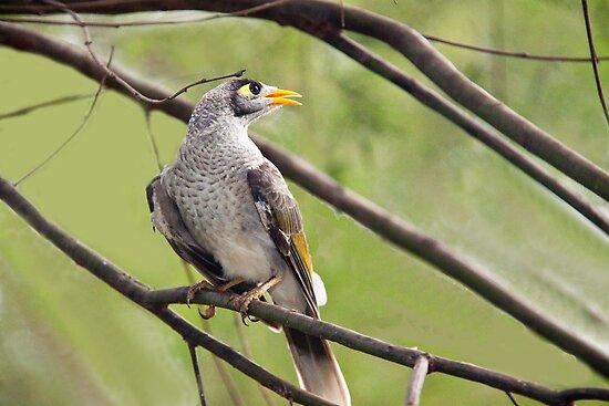 Mynah bird looking afar by Robert Kelch, M.D.