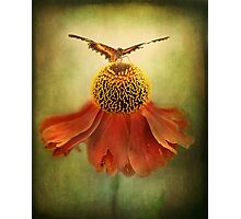 Butterfly on dancing Coneflower.. Photographic Print